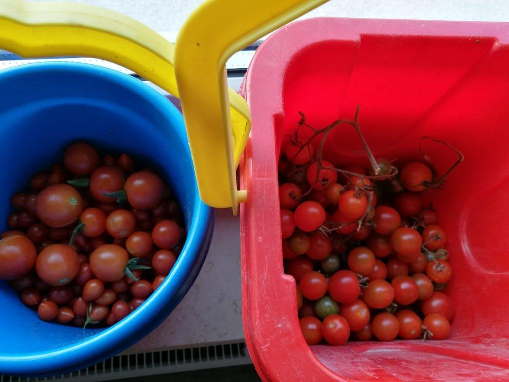 Unsere Tomatenernte